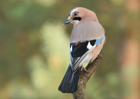 jay: jay bird Garrulus glandarius