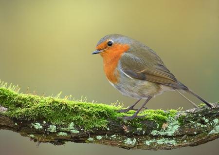 robin bird: European robin bird