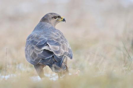 eagle falls: Common buzzard Buteo buteo