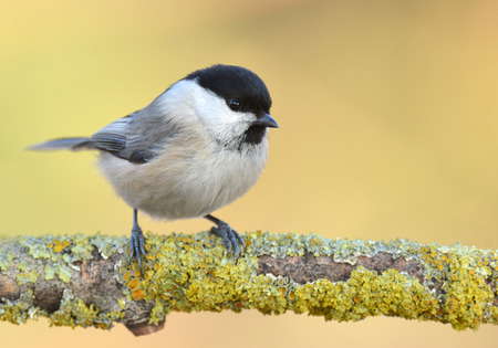 Willow Tit Poecile montanus photo