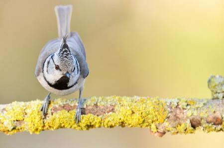 cristatus: Crested tit (Lophophanes cristatus)