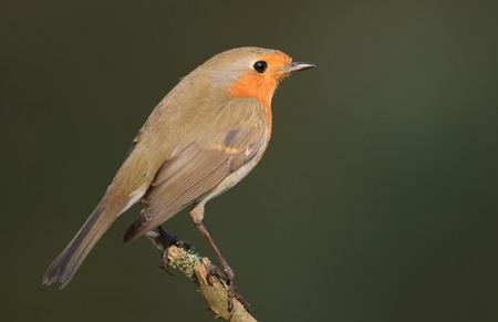rubecula: Erithacus rubecula, European Robin