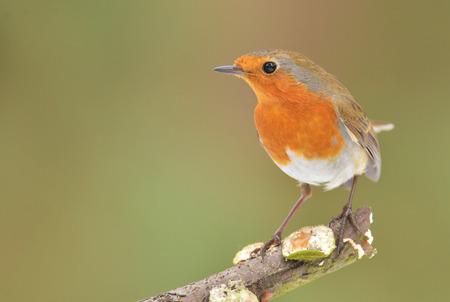 songster: Erithacus rubecula, European Robin