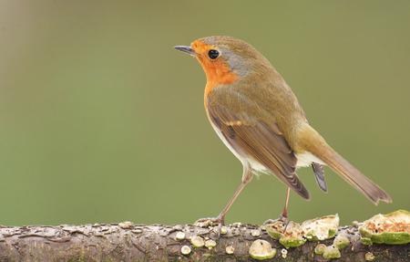 erithacus: Erithacus rubecula, European Robin