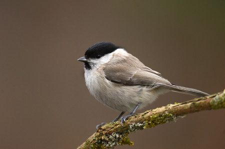poecile palustris: Willow Tit Poecile montanus