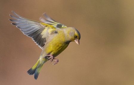greenfinch: European Greenfinch ( Carduelis chloris ) resting on a branch Stock Photo