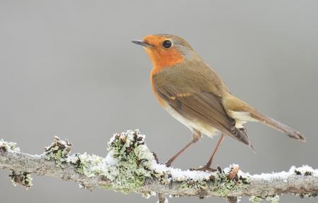 erithacus rubecula: Erithacus rubecula, European Robin