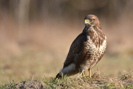 Common buzzard (Buteo buteo) 版權商用圖片