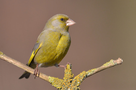 greenfinch: European Greenfinch ( Carduelis chloris )
