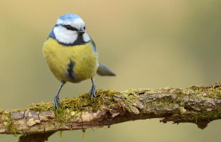 harmonie: Blue tit (Parus major) on a branch