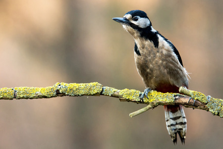 dendrocopos: woodpecker (Dendrocopos major) Stock Photo