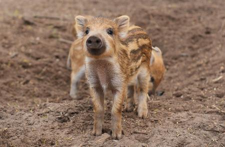 scrofa: wild boar (sus scrofa)