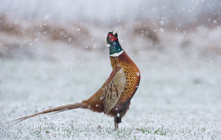 Ringneck Pheasant (Phasianus colchicus) standing in winter scenery Reklamní fotografie - 38928946
