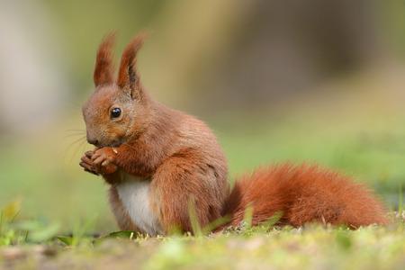 Red squirell de cerca (Sciurus vulgaris)