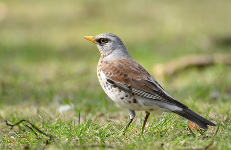 catbird: fieldfare (Turdus pilaris) Stock Photo