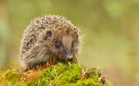 자연 서식지에서 젊은 고슴도치