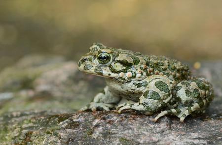 bufo toad: Green toad (Bufo virdis)