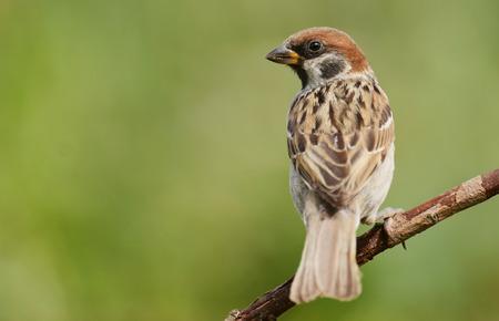passer by: Tree sparrow (Passer montanus)