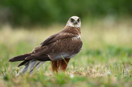 bird of israel: Marsh harrier