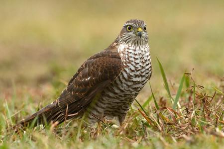 sparrowhawk: Eurasian sparrowhawk (Accipiter nisus)