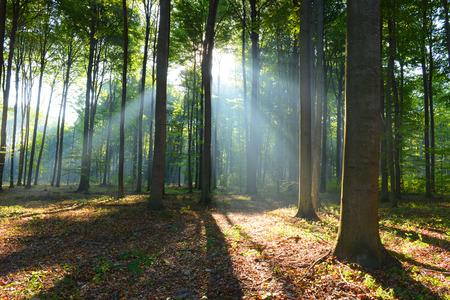arbol de pino: Por la ma�ana en el bosque