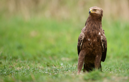 spotted: Greater Spotted Eagle (Clanga pomarina) Stock Photo