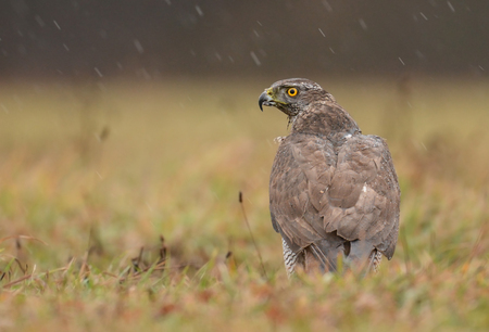 goshawk: Northern Goshawk (Accipiter gentilis) - adult