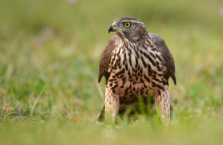 hawk: Young Sparrow hawk (Accipiter gentilis)
