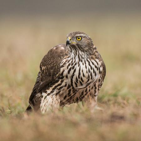 goshawk: Northern Goshawk (Accipiter gentilis) - young