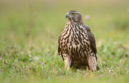 Young Sparrow hawk (Accipiter gentilis)