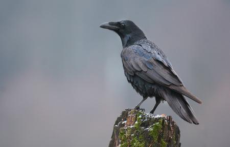 Rabe (Corvus Corax) Standard-Bild