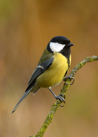 parus: Great tit in autumn scenery (Parus major) Stock Photo