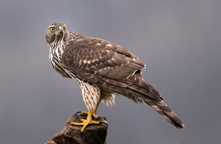 Young northern goshawk (Accipiter gentilis) Stock Photo
