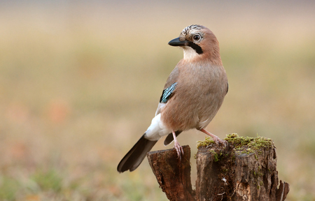 glandarius: Jay bird (Garrulus glandarius) Stock Photo