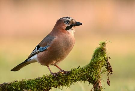 Jay bird on a branch
