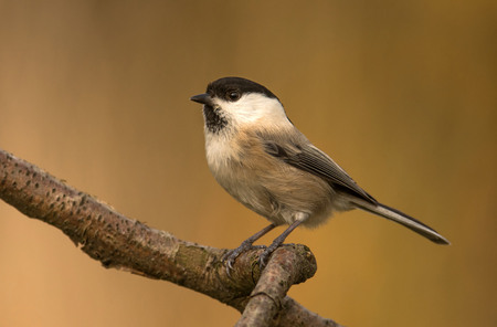 poecile palustris: Willow Tit (Poecile montanus)