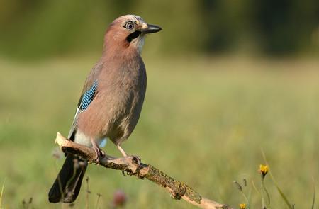 jay: Jay bird (Garrulus glandarius) Stock Photo
