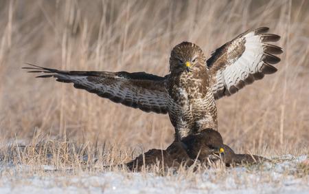 yellow tailed: Common buzzards fighting (Buteo buteo) Stock Photo