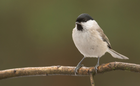 poecile palustris: Marsh tit (Poecile palustris)
