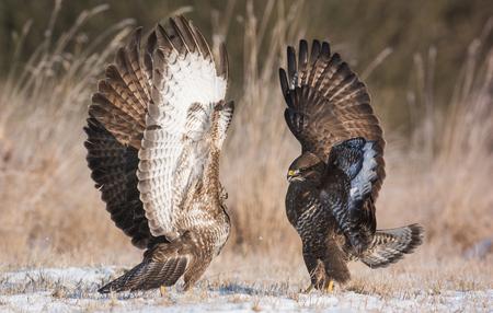 Common buzzard (Buteo buteo) 版權商用圖片