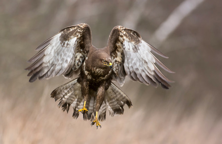 hawk: Common buzzard (Buteo buteo) Stock Photo