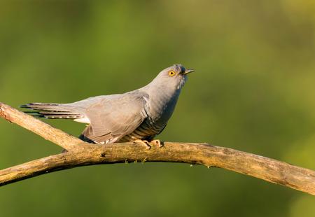 canorus: Common cuckoo (Cuculus canorus) Stock Photo