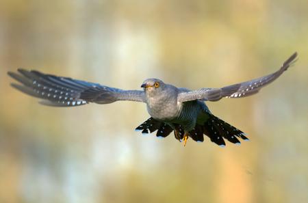 Common cuckoo (Cuculus canorus) Stockfoto