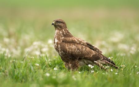zopilote: Halcón común en el paisaje de primavera (Buteo buteo)