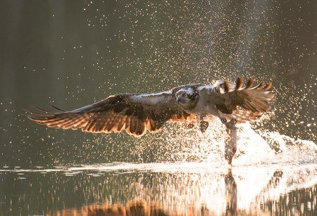 intercept: Osprey (Pandion haliaetus)