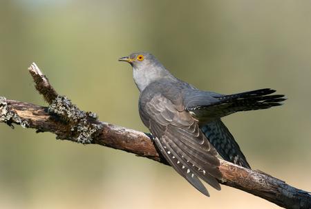 Common cuckoo (Cuculus canorus) Stock Photo