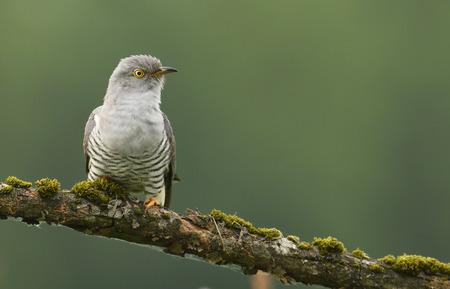 cuckoo: Common cuckoo (Cuculus canorus) Stock Photo
