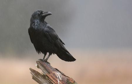 corvus: Raven (Corvus corax)