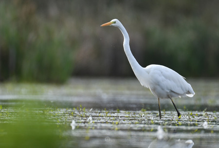 egret: Great white egret (Egretta alba)