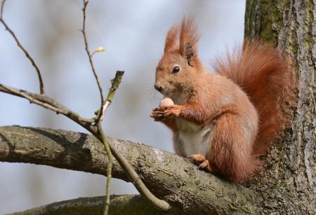 vulgaris: Red squirrel (Sciurus vulgaris)